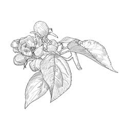Vintage hand drawn blooming apple tree twig vector image