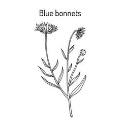 Blue bonnets jasione montana or sheeps bit vector