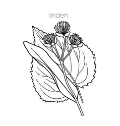 Graphic linden plant isolated on white background vector