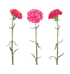 Set three carnation vector
