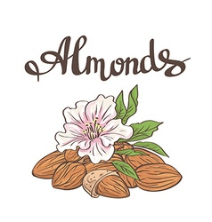 Almonds with kernels leaves and flower vector
