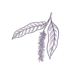 drawing branch willow tree vector image