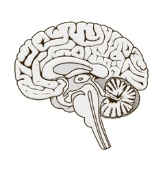 Structure human brain section schematic vector