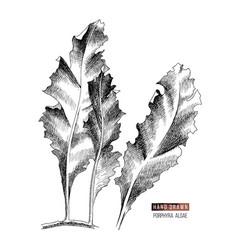 Hand drawn porphyra seaweed vector