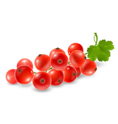 red currant sprig vector image