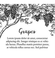 grapevine ink sketch vector image vector image