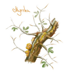 Commiphora myrrha tree with resin watercolor vector