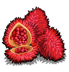 set of whole and half of ripe annatto tree fruit vector image
