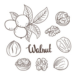 Walnuts with leaves and dried walnuts isolated on vector image