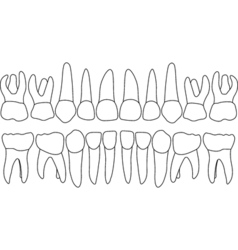 Primary teeth front vector