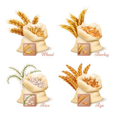 agricultural cereals - wheat barley oat and rice vector image