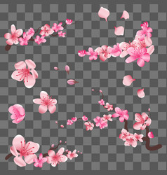 Spring sakura cherry blooming flowers pink petals vector