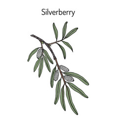 Silverberry or wolf-willow elaeagnus commutata vector