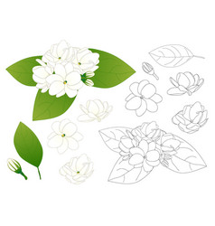Arabian jasmine outline vector