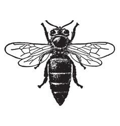 Queen honey bee vintage vector