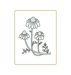 Chamomile flowers on white vector