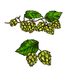 hops plant branches flowers and cones vector image