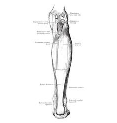 Back leg muscles vintage vector