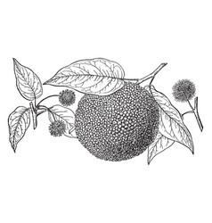 Branch of bois darc vintage vector