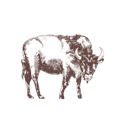 european bison hand drawn with contour lines on vector image