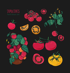 tomato varieties hand drawn set on black vector image