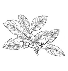 Branch of ficus populnea vintage vector