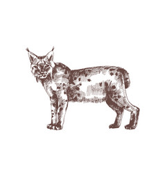 lynx or bobcat hand drawn with contour lines vector image