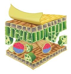 Plant vascular tissue vector