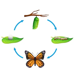 Life cycle - Danaus plexippus vector image
