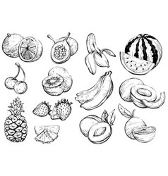 hand drawn healthy exotic summer fruit sketch vector image
