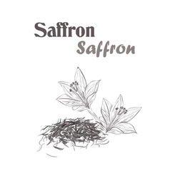 saffron spice Sketch style of saffron vector image