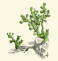 Prickly pear cactus plants engraved hand drawn vector
