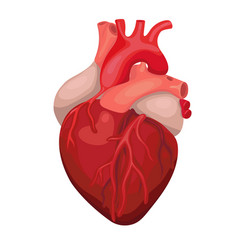 Anatomical heart isolated heart diagnostic center vector