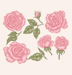 Elegant pink rose flowers and leaves in vintage vector
