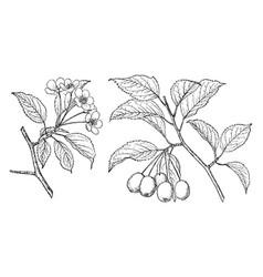 Branch of malus rivularis vintage vector