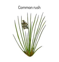 Common or soft rush juncus effusus medicinal vector