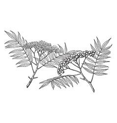Branch of american mountain-ash vintage vector