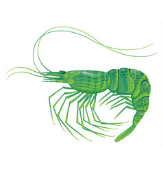 Shrimp isolated on white vector