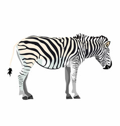 zebra standing isolated on white background vector image