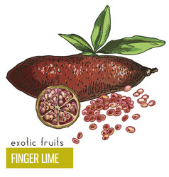 Finger lime with leaves and slice vector