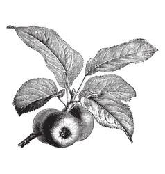 Fruiting branch apple vintage vector