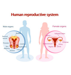 human reproductive system anatomical genitals of vector image