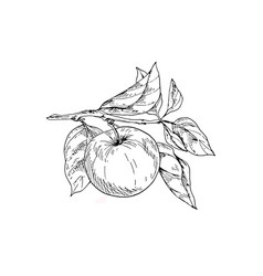 Contoured apple on a branch with leaves vector