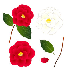 white and red camellia flower isolated on white vector image