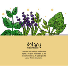 botany herbs and spices vector image