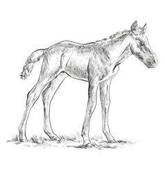 Foal hand drawing vector