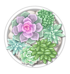 Various succulents in pot echeveria jade plant vector