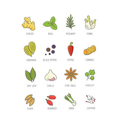 Culinary spices and herb for your menu or kitchen vector