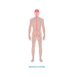 Nervous system - cartoon diagram male human vector