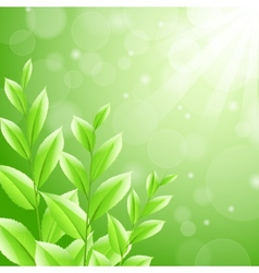 sbackground green tea leaves vector image